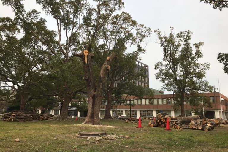 市役所建て替えクスノキ伐採