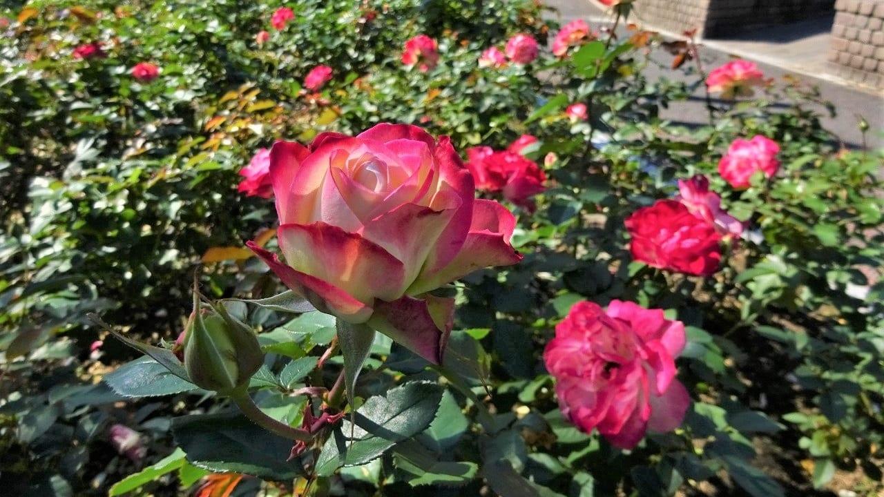 秋のバラ公園