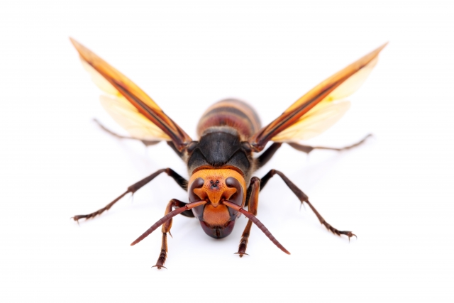 正面を向いて羽を羽ばたかせるオオスズメバチ
