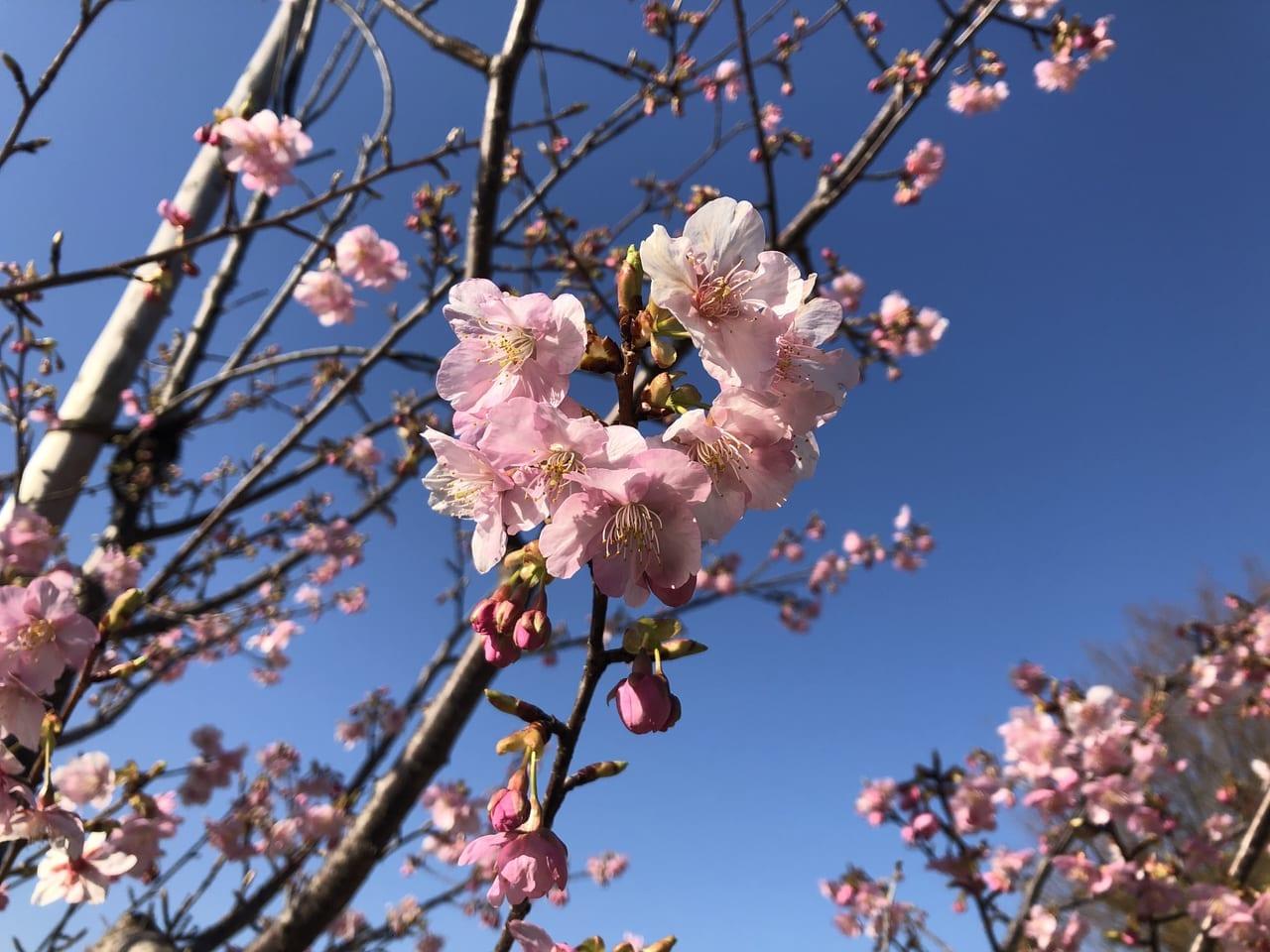 緑ヶ丘公園のさくらの丘の桜